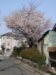 19sakura_003