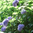御霊神社の紫陽花