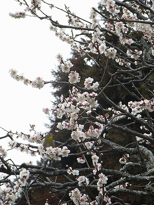 浄妙寺の梅2