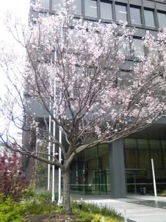ミゾレに桜
