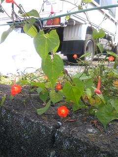 駐車場に赤い花