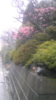 春雨?に煙る梅花