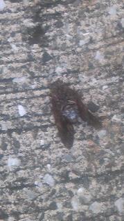 蝉が落ちていた