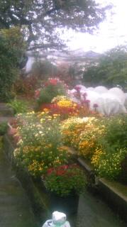 雨に小菊が