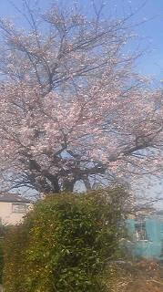 平戸の蒔田野桜