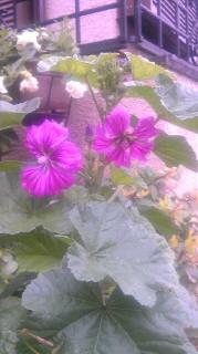 ブルーフェルムの花