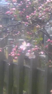 春雨の米サクラ