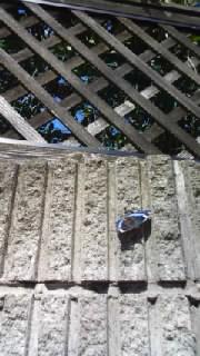 春の日差しにタテハ蝶